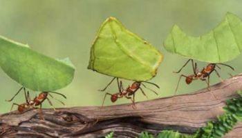 La formica operosa