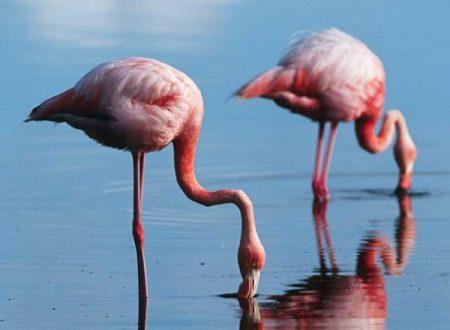Il fenicottero rosa